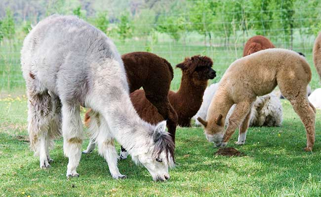 Alpaca's grazing in a pasteur