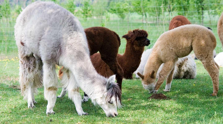Alpaca grazing in a pasteur