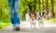 Two small dogs on a walk