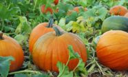 Many pumpkins in the field
